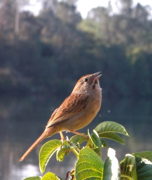 Proud sparrow