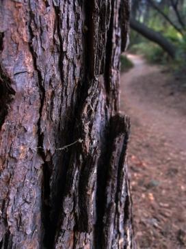Redwood tree, Negro Bar