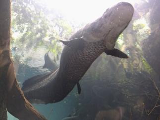 Giant Arapaima swims over my head