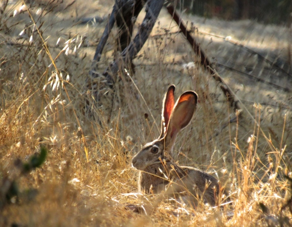 Jackrabbit at Folsom Lake
