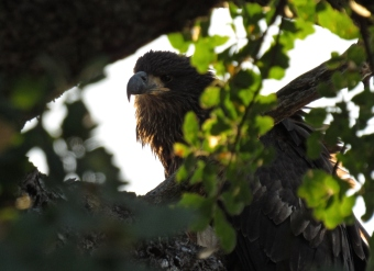 The young bald eagle images are my #1 favorites