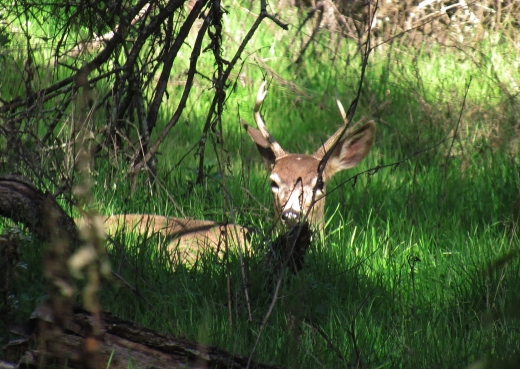 A young buck and two does, Ancil Hoffman Park