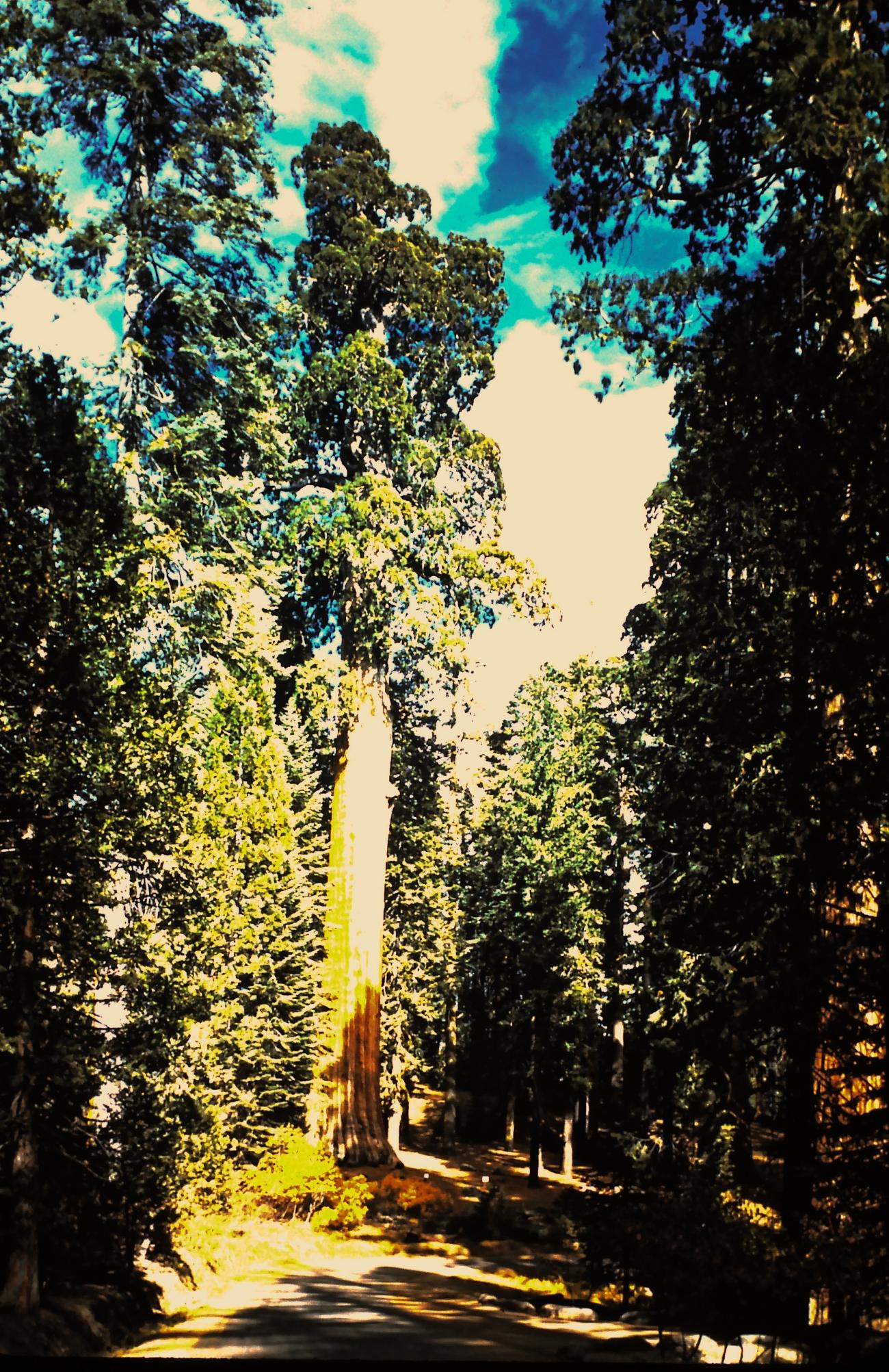 California Tree, Sequoia
