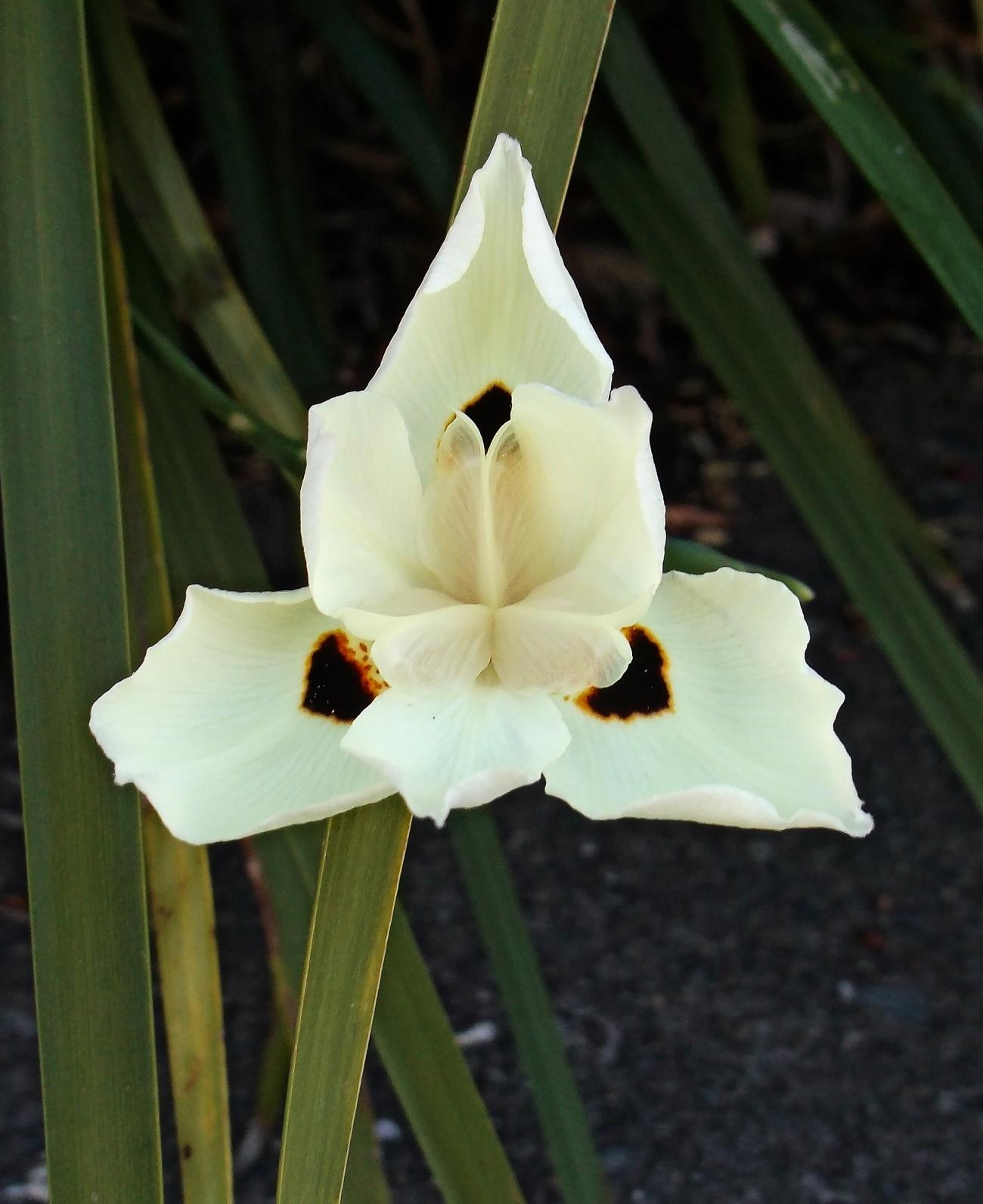 Dietes bicolor (African iris)