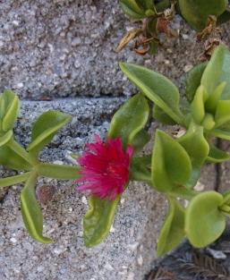 Aptenia, ice plant