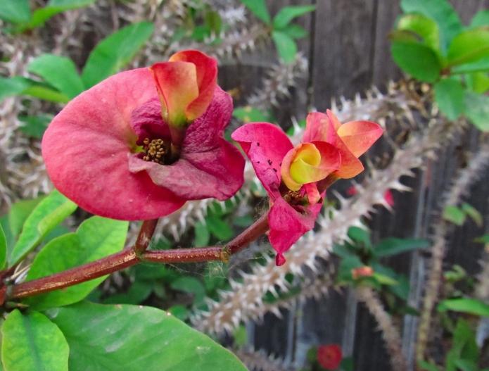 Euphorbia milii hybrid (back yard)
