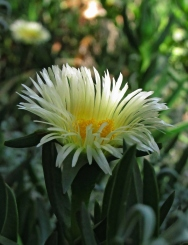 White iceplant flower