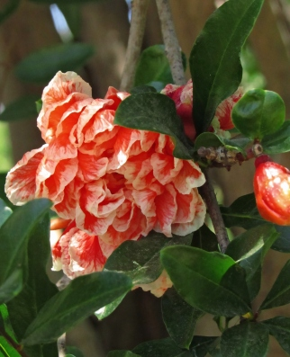 "Pomegranate ""Mme Legrelle"""