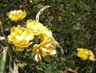 Lady Banks' rose