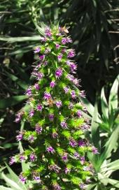 """Echium candidans, """"Pride of Madeira"""""""